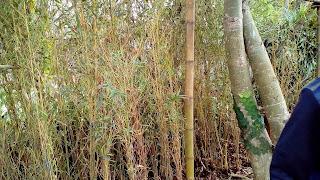 Jual Pohon Bambu Klisik,Tanaman Bambu Hias,Tanaman Pagar
