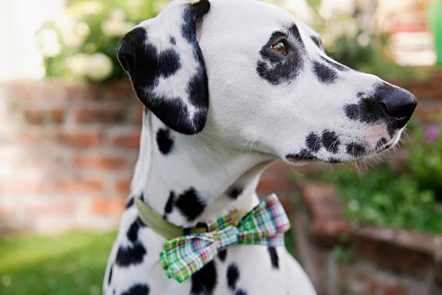 Dalmatian dog wearing homemade plaid collar bow tie