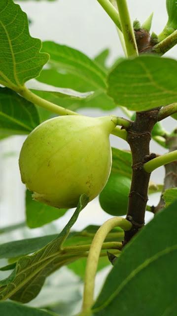 Terra Figs