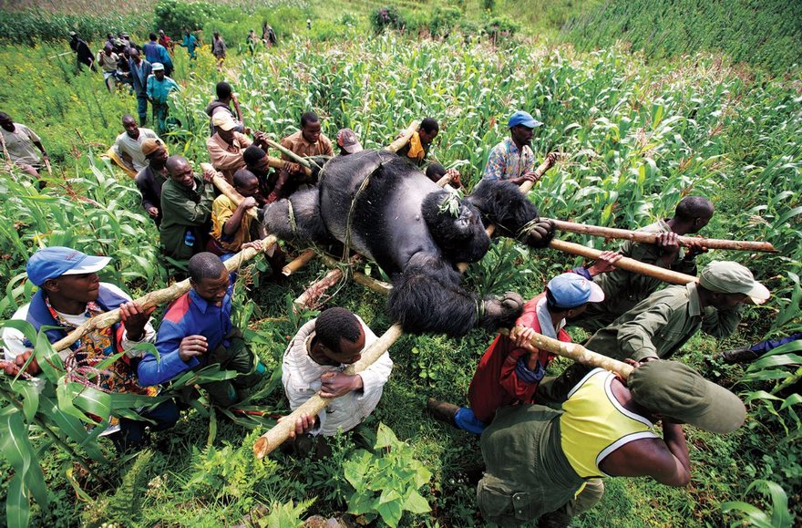 #41 Gorilla In The Congo, Brent Stirton, 2007 - Top 100 Of The Most Influential Photos Of All Time