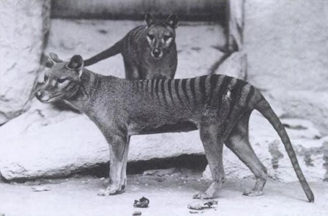 Тасманийского волка заметили в Австралии