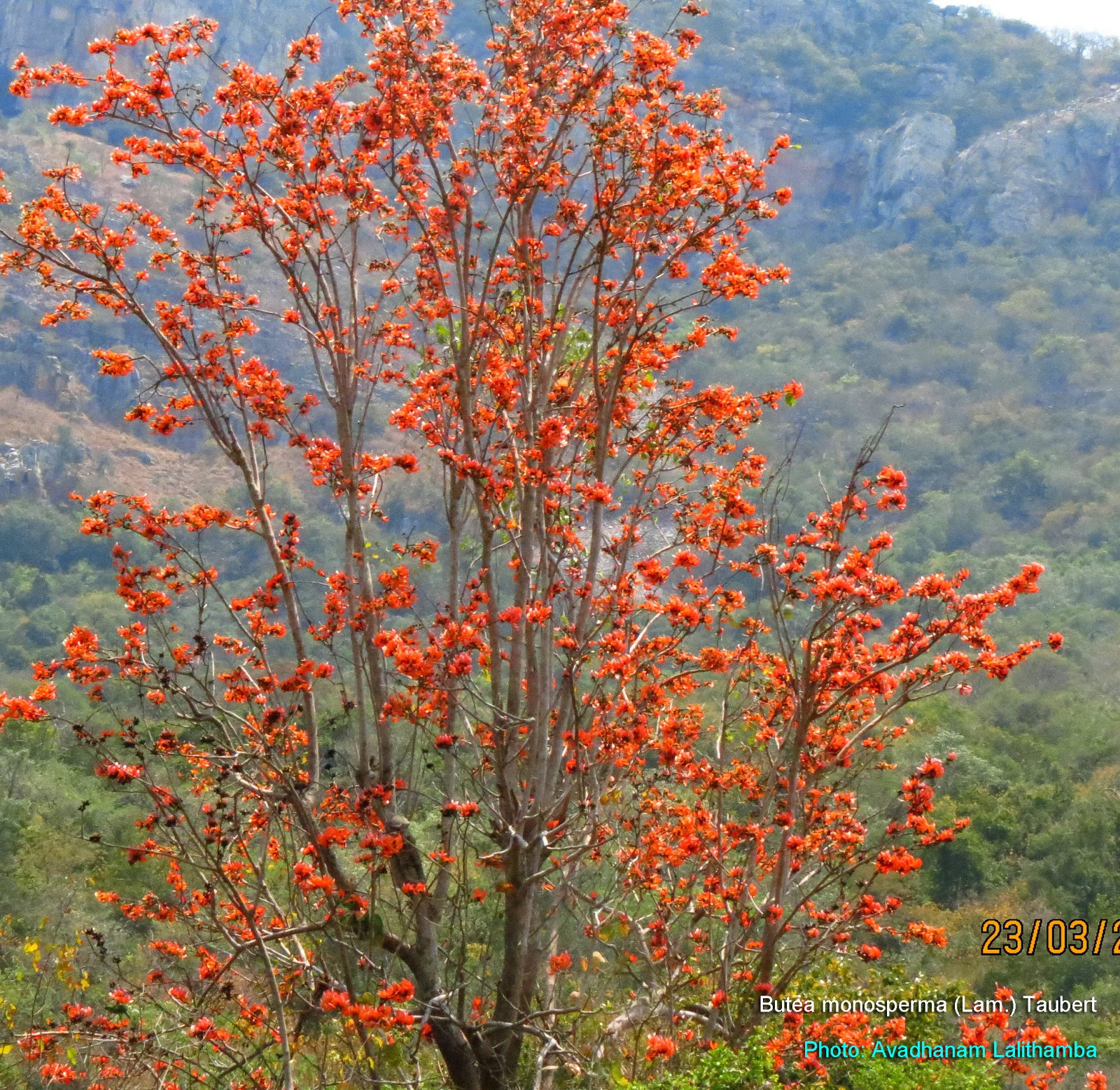 Butea monosperma - JungleKey.in Image