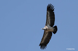 Image of Long-billed Vulture photographed by Sudipto Roy.