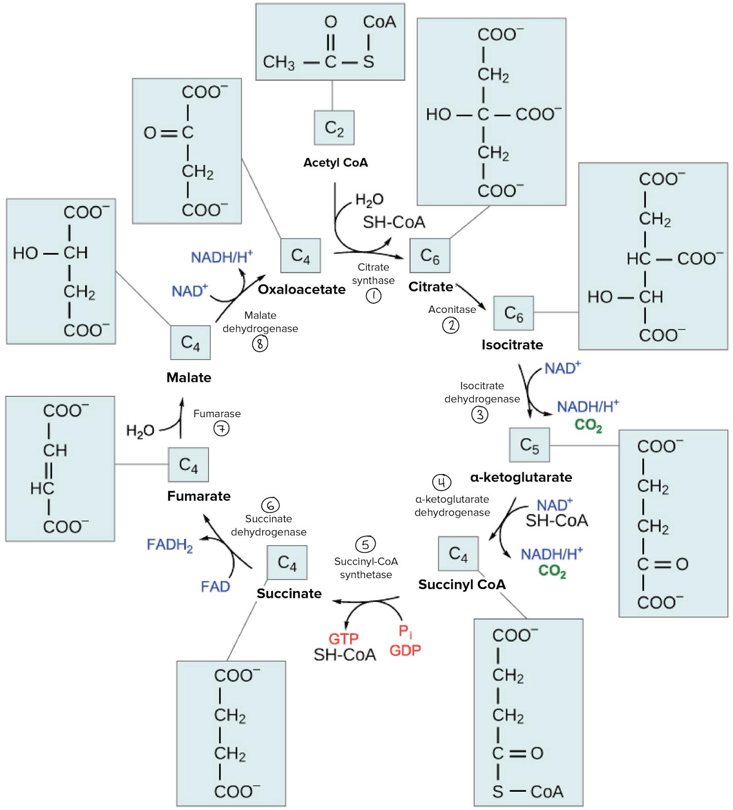 L Stelinis Kv Pavimas Krebso Ciklas Mikrobiologija