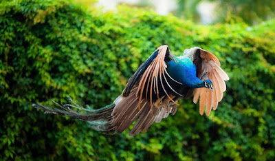 flying-peacock-in-the-green-trees-jungle-walls