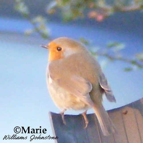 european british english robin bird