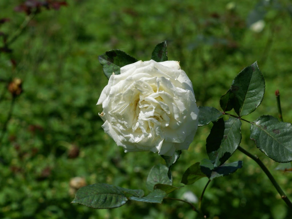White Rose Wallpapers HD ~ Desktop Wallpapers free Download
