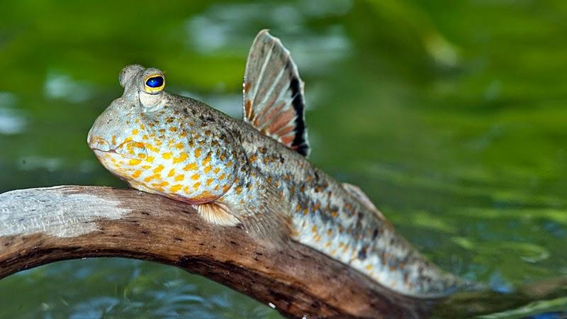 Download 103 Gambar Ikan Gelodok HD Terbaik