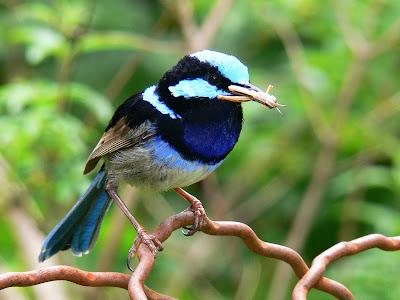 fotografia de pajarito azul ave