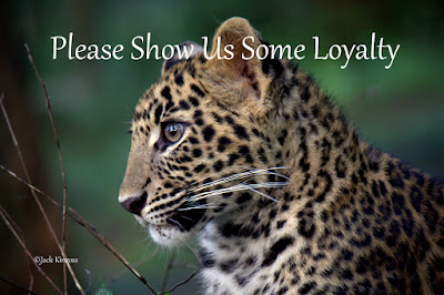 1025 dead leopards... and the effect on ecosystems as part of that...