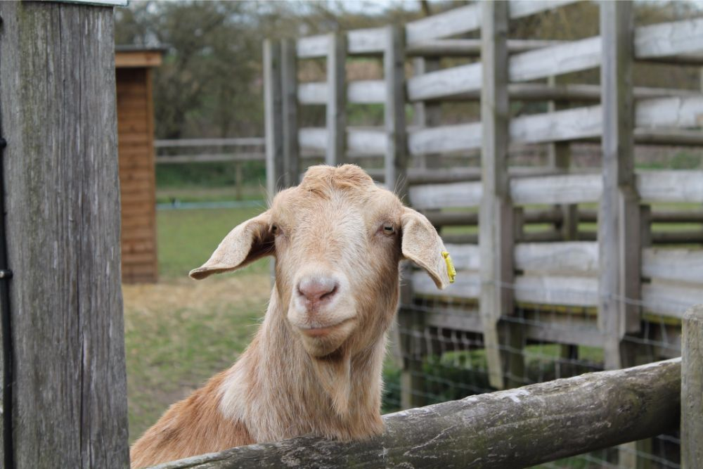 brown-goat-looking-over-fence