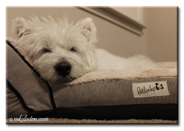 Westie in dog bed