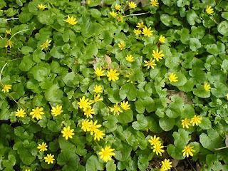Цветок имени Елена - лютик