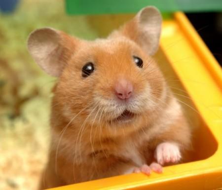 çok şirin hamster