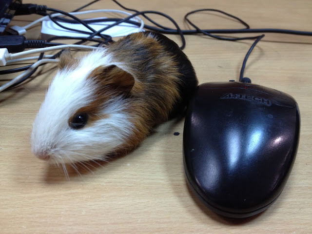 Guinea pig with computer mouse