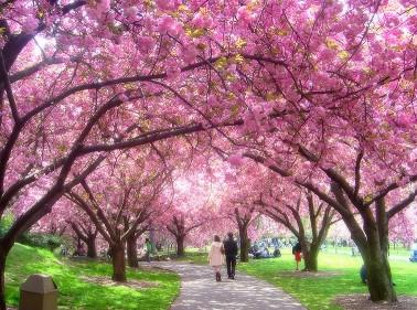 pemandangan bunga sakura di jepang