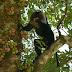 Manfaatkan Pohon Ara, Pohon Pinggiran Sungai Yang Banyak Manfaat Bagi Makhluk Hidup
