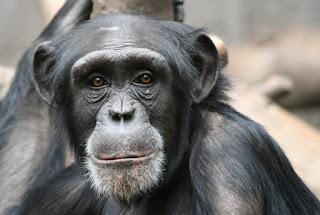 http://www.livescience.com/15309-humanlike-behaviors-primates.html