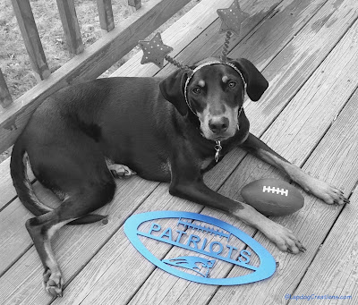 doberman mix dog with New England Patriots gear