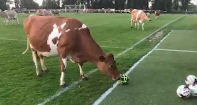 cows on football pitch