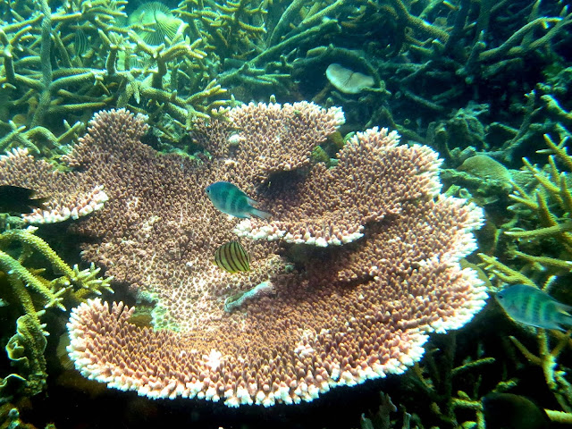 table coral, south china sea, Malaysia, tioman island, scuba diving, salang