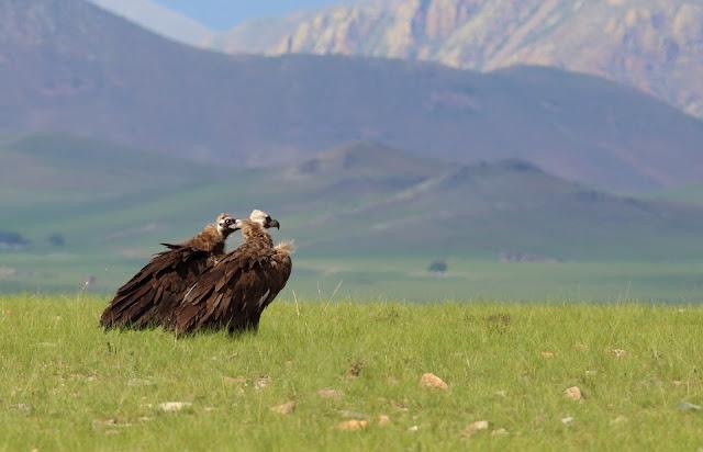 Monk Vultures