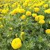 Marigold Farming Information,flowers farming tis
