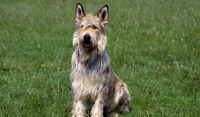 Berger Picard Dog