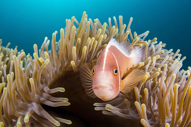 A pink anemonefish, aka pink skunk clownfish (Amphiprion perideraion)