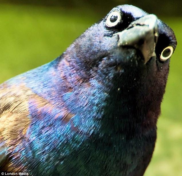 angry pigeon - photo #8