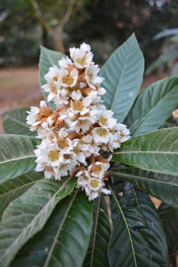 Árboles frutales y ornamentales: flor Níspero