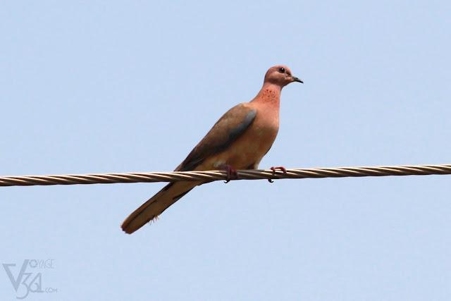 Laughing Dove(25 cm) - Davangere