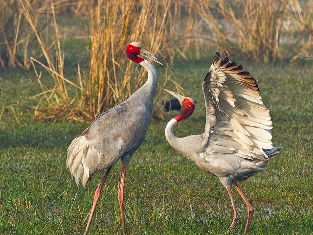 Sarus Crane, Bharatpur Bird Sanctuary