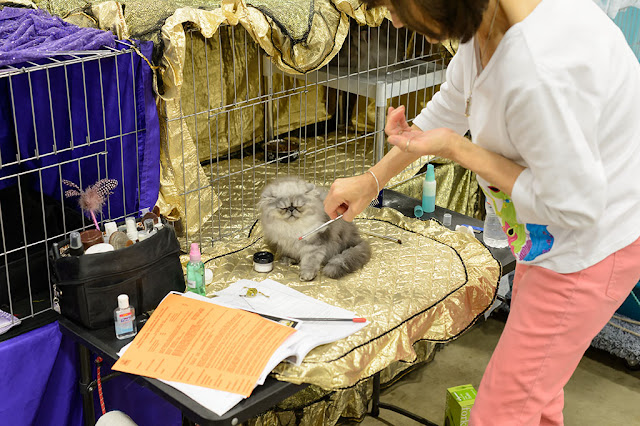 Grooming at the National Capital Cat Show
