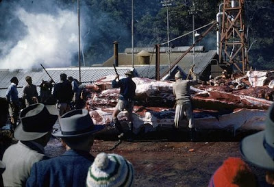 Queensland whaling industry in the 1950s