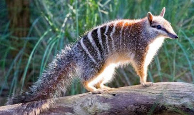 Numbat - animals that start with the letter N