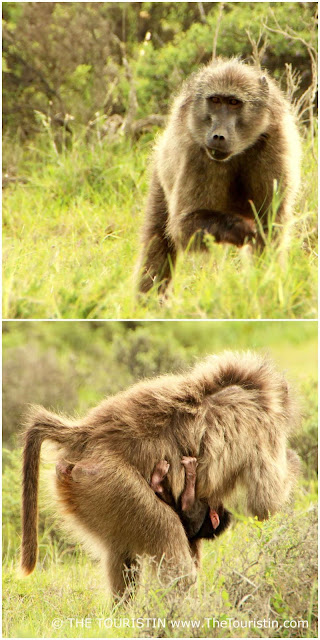 Chacma baboon carrying her young baby at De Hoop Nature Reserve in South Arrica