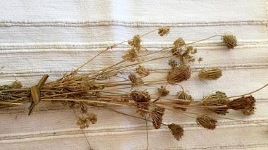 Cabezas de semillas. Daucus carota (Zanahoria silvestre)