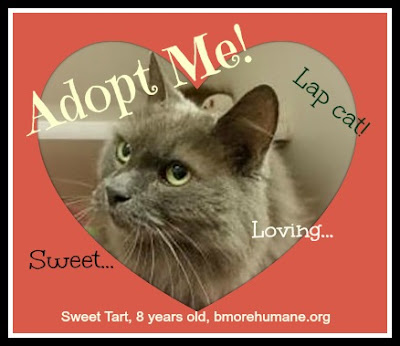 Sweet Tart is a gray long-haired cat in need of a home. Currently at Baltimore Humane Society.
