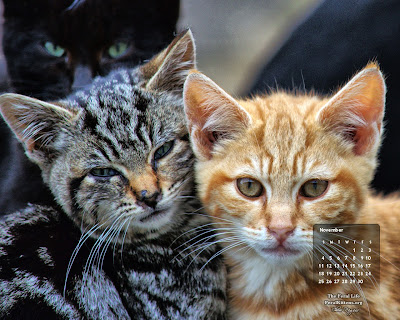 November standard desktop wallpaper cats