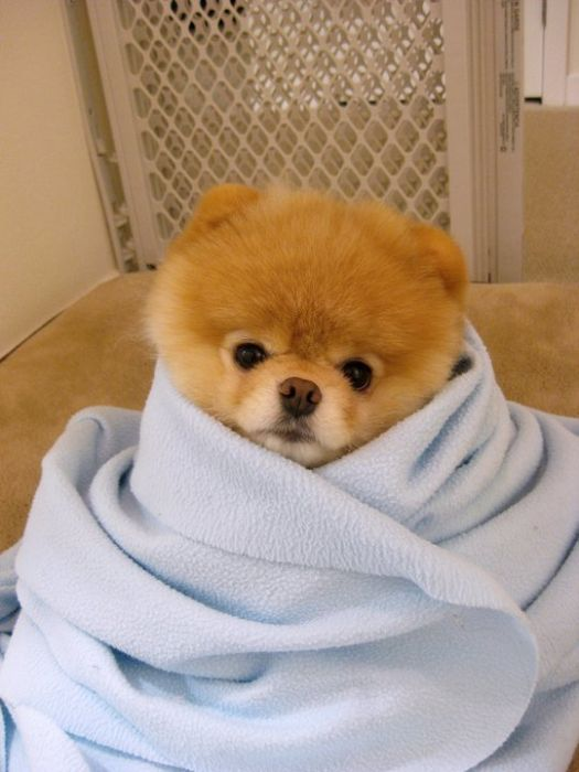 pomeranian boo dogs my funny beautiful pomeranian puppy named boo pictures 4550