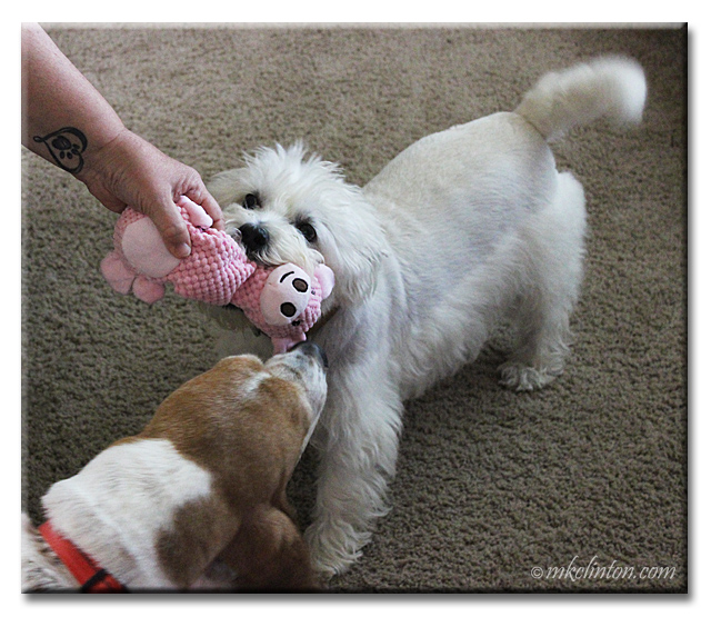 Two dogs tugging on pink pig toy