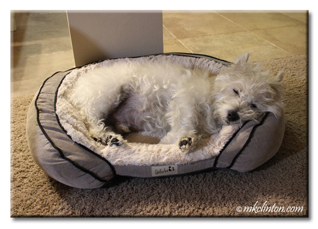 Westie snuggled in pet bed
