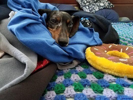 Dachshunds Can Make Laundry More Fun!