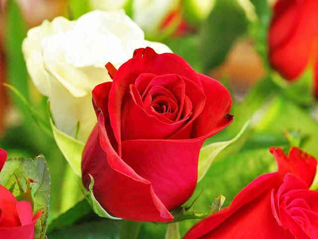 Bunga Mawar 01 Bunga Mawar