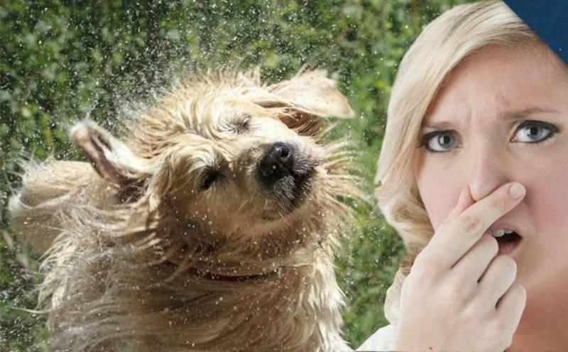 Γιατί όταν ο σκύλος είναι βρεγμένος μυρίζει;
