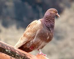pombo-das-rochas, pombo  comum, columba livia