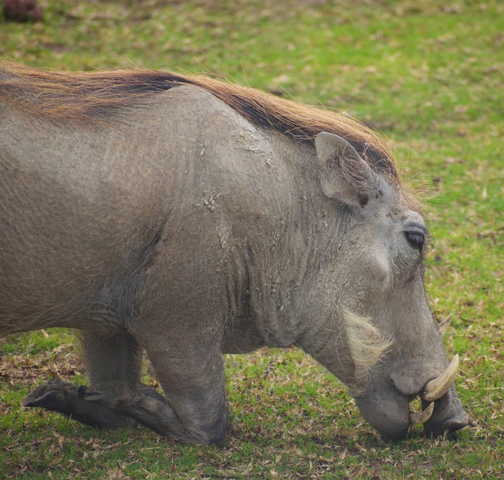 Picture of a warthog eating grass.