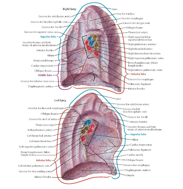 Lungs: Medial Views Anatomy