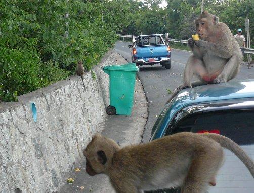 Обезьяны залезли на машину